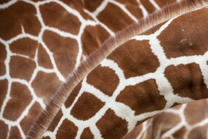Giraffenhälse