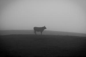 Rind im Nebel